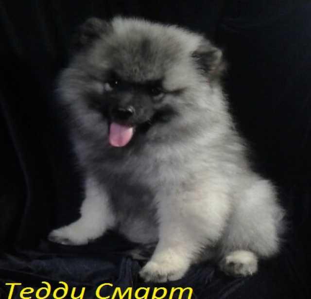 Продам Перспективные щенки кеесхонда/вольфшпица