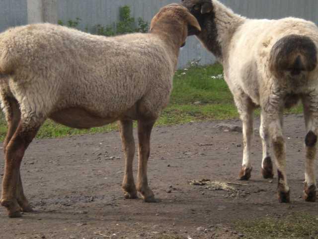 Продам Овцы эдельбаевской породы (курдючные)