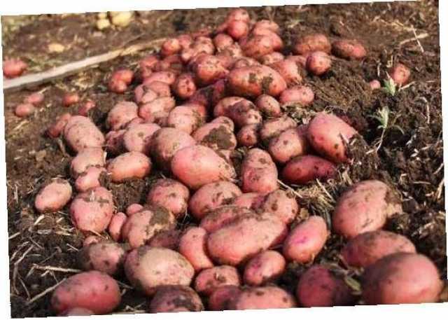 Продам Картофель от 1 сетки