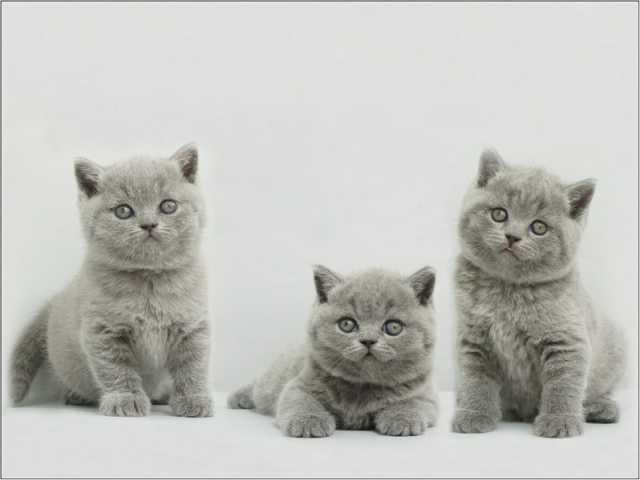 Продам Голубые британские котята, клубные