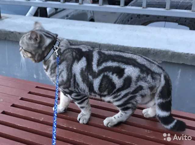 Продам: кот на вязку-британец