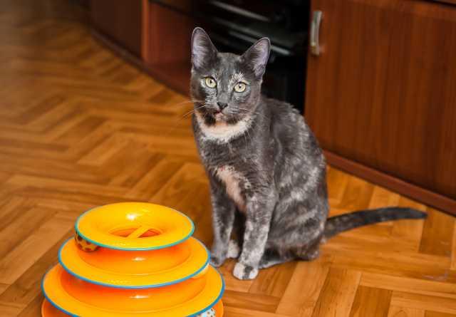 Продам Голубокремовая кошка. стерилизована