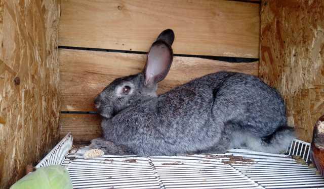 Продам Кролики,Фландр,Шиншила