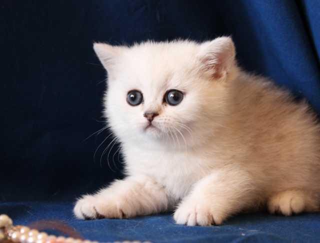 Продам Котята британской шиншиллы