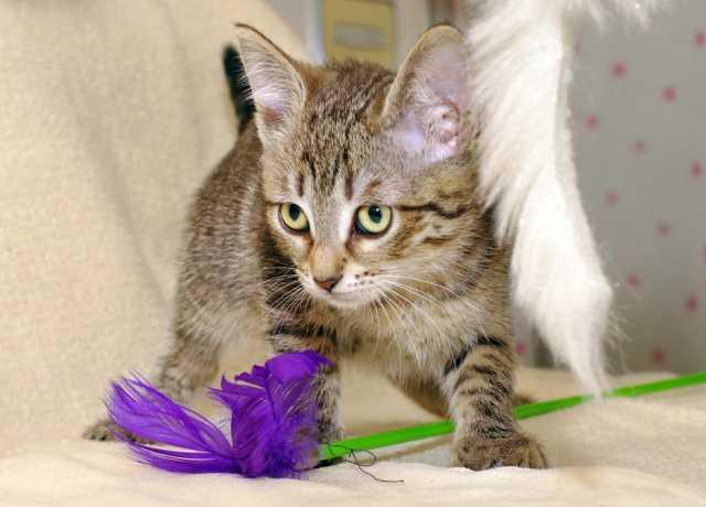 Отдам даром Изумительная полосатка котенок Мадленка