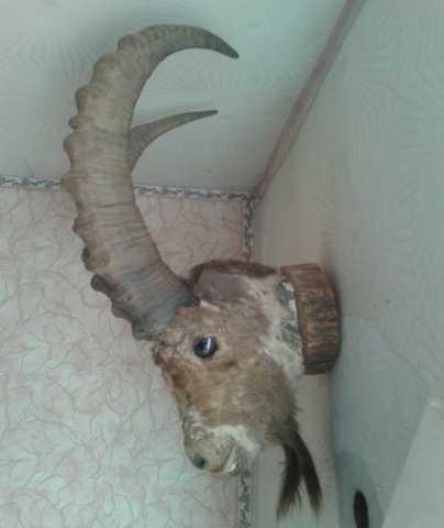 Продам чучело головы с рогами горного барана (п