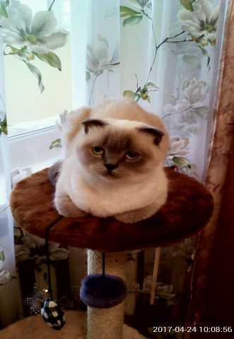 Продам Кошка Шотландская вислоухая