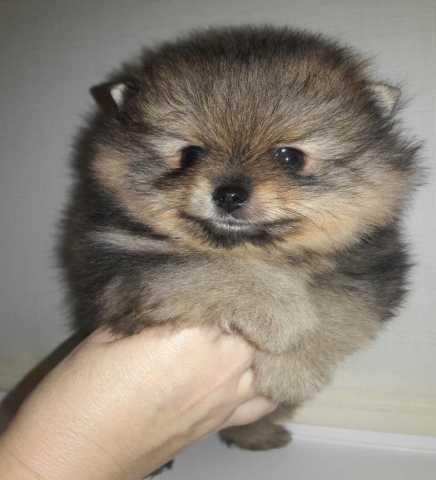 Продам щенок шпица