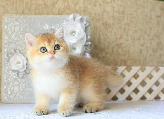 Продам Британского котенка золотого окраса