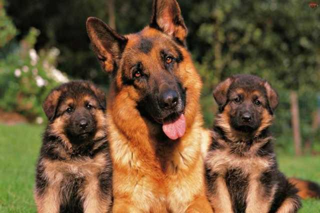 Продам Чистокровные щенки немецкой овчарки