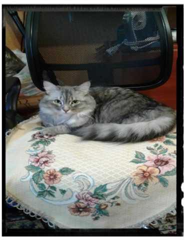 Отдам даром Шикарная кошка.