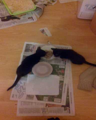 Отдам даром котят 1,5-2 месяца (коты)