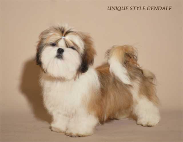 Продам щенок ши-тцу