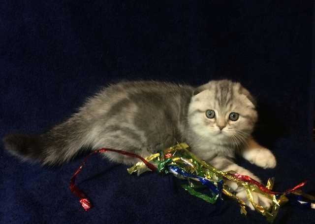 Продам Шотландские вислоухие котята, 5 фолдиков