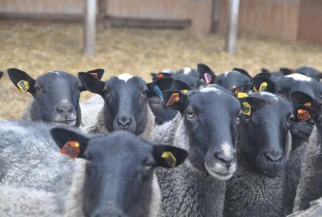 Продам Племенные овцы и бараны