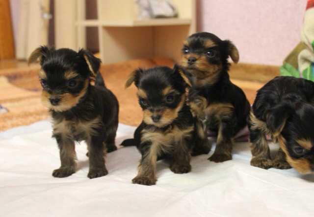 Братск объявления куплю собаку свежие вакансии домашний персонал москве и московской обл