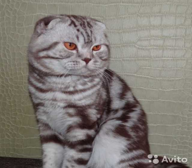 Предложение: вязка -вислоухий кот