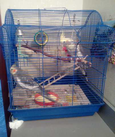 Продам попугаи карелла