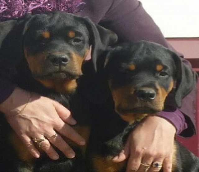 Продам  чистокровные щенки ротвейлера