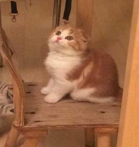 Продам Вислоухие клубные котята