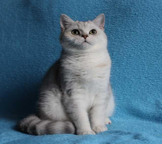 Продам Серебристый котик