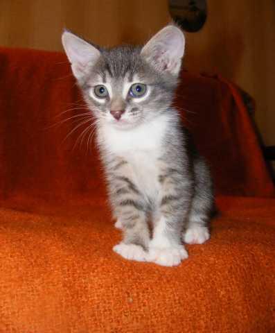 Продам Домашний котенок