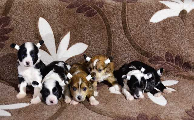 Продам Щенки Китайской хохлатой собаки