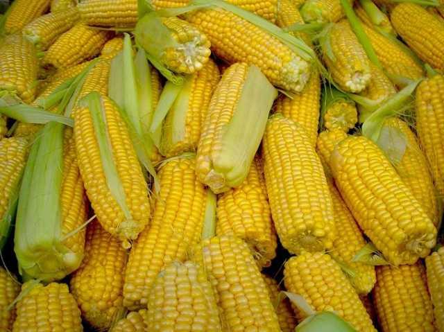 Продам Семена кукурузы Краснодарская 291