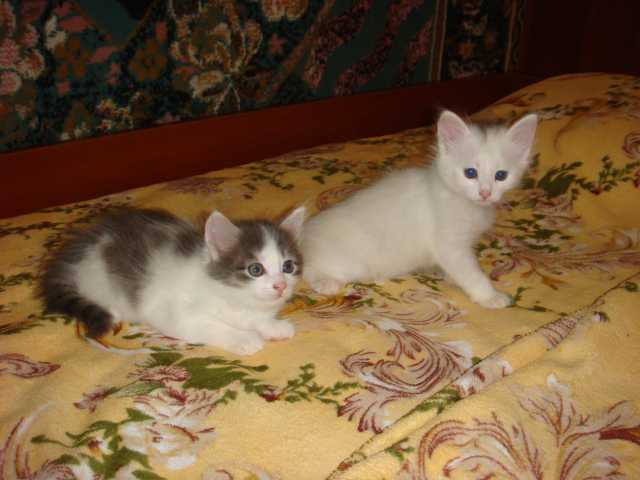 Продам Котята (котики)