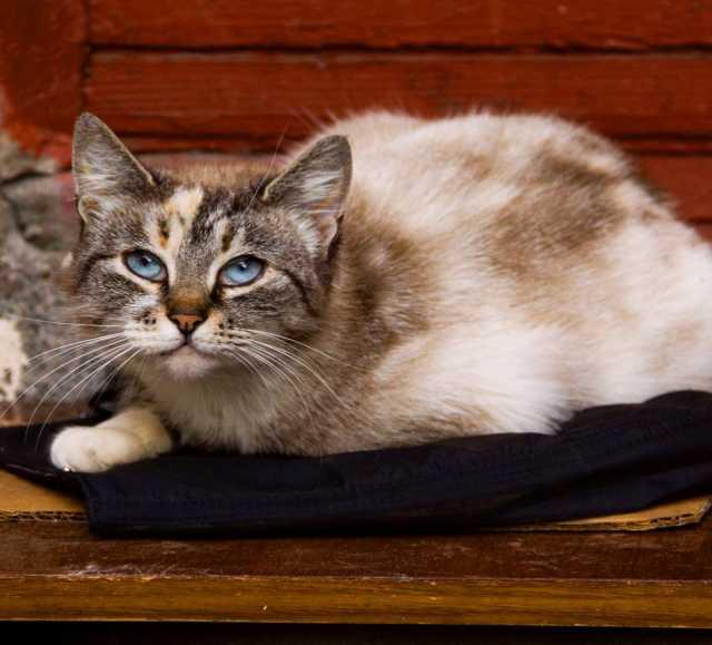Отдам даром  голубоглазая ТАЙСКАЯ красавица кошка