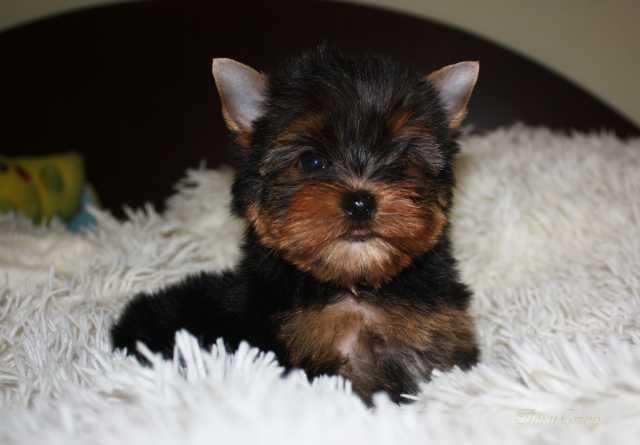 Продам Шикарный мини щенок Йоркширского терьера