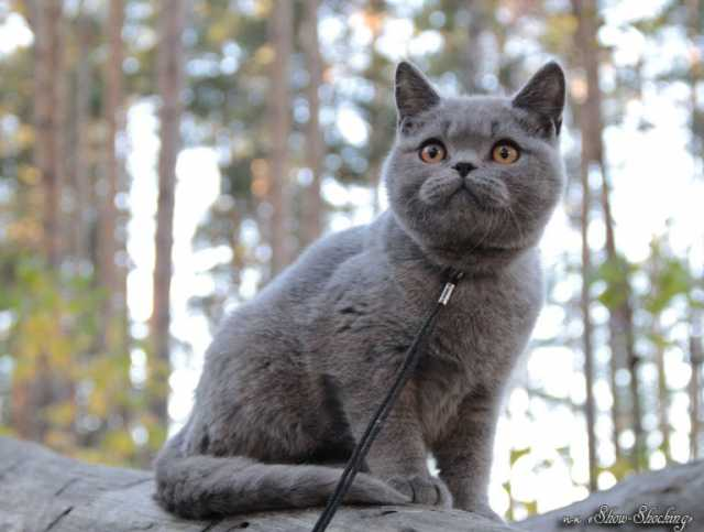 Продам Британские котята,окр.голуб,черный.
