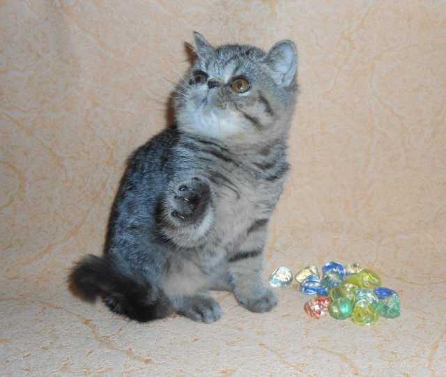 Продам Экзотические короткошерстные котята