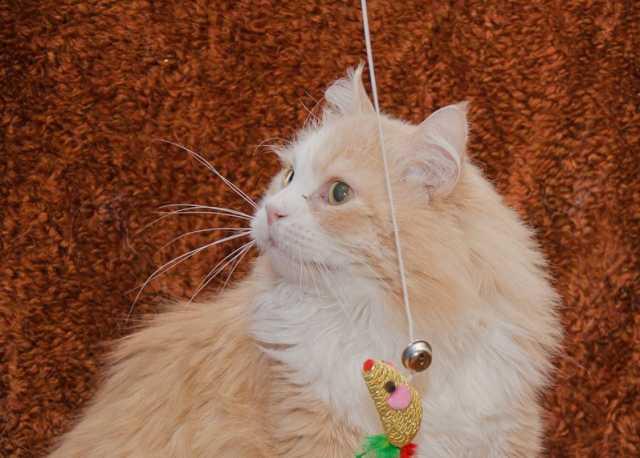 Отдам даром Красивый и брутальный кот Ричард