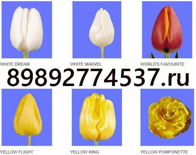 Продам Тюльпаны купить оптом