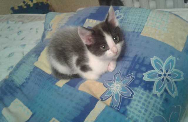 Отдам даром Котёнок девочка 2 месяца