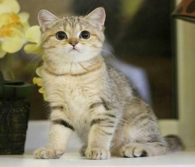 Продам Породистые котята ищут заботливых хозяев