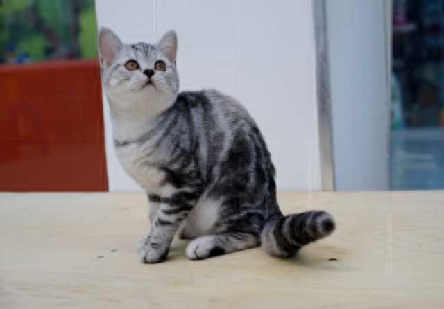 Продам Шотландские котята.