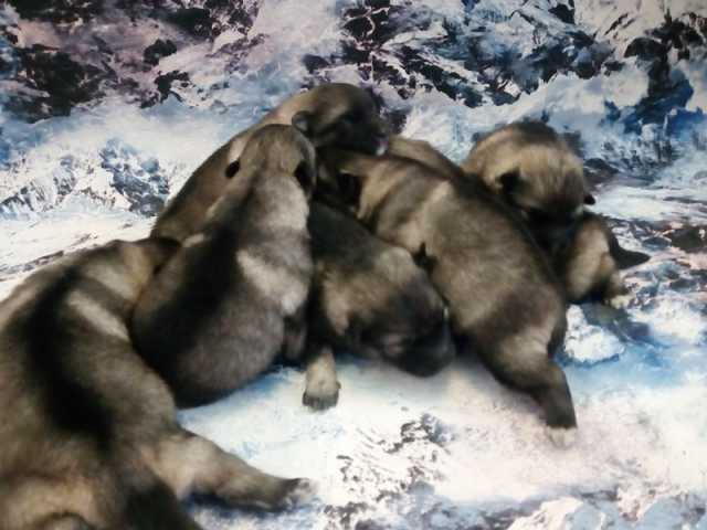 Продам Породные щенки вольфшпица (кеесхонда)