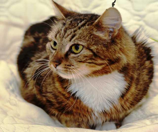 Отдам даром Муза - благородная кошка в добрые руки в