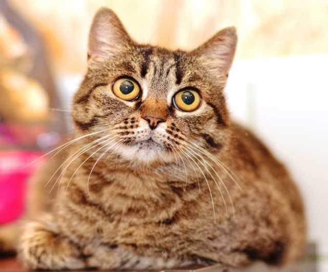 Отдам даром Ночь - кошка с Лунными глазами в добрые