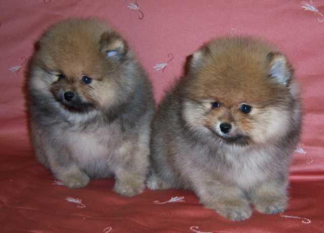 Продам Шикарные щенки померанского шпица