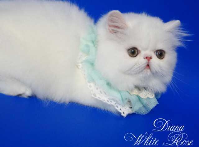 Продам Персидский котенок белого окраса Диана