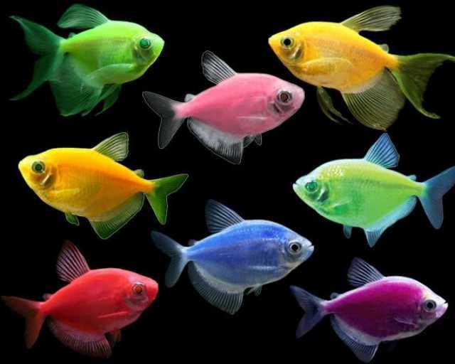 Продам Данио, тернеции и другие мирные рыбки