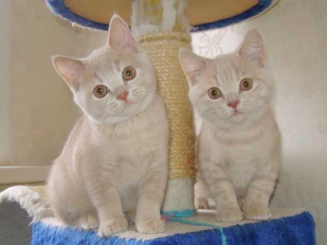 Продам питомник британских кошек