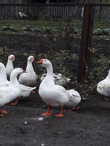 Продам гусей живым весом