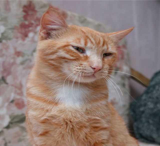 Отдам даром Юный кот Рыжик — обаятельный парнишка. В