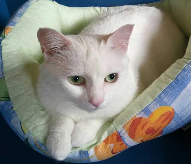 Отдам даром Ищет дом очень ласковая кошка Милана.