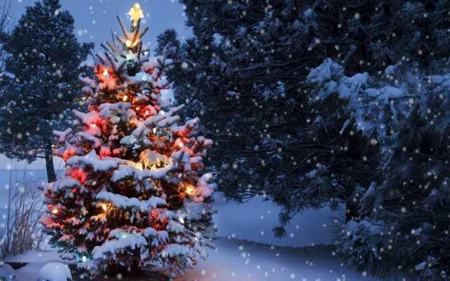 Продам Доставка новогодних пихт (предзаказ)