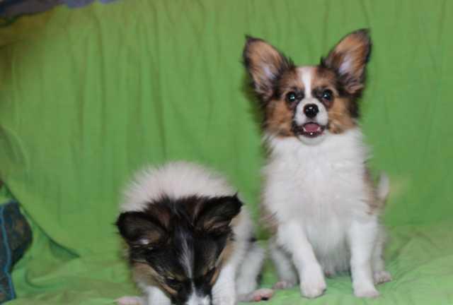Продам щенок папийон 3 месяца мальчик соболь